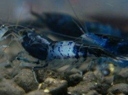 画像1: ブラックルリーシュリンプ(ブルー)10匹セット