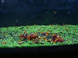 画像3: Metal color shrimp(Neocaridina) size 1.4-2.2cm