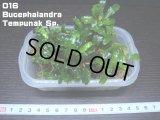 016 Bucephalandra Tempunak Sp.