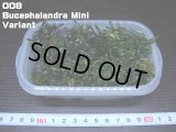 008 Bucephalandra Mini Variant