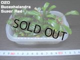 020 Bucephalandra Super Red