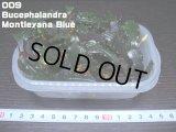 009 Bucephalandra Montleyana Blue