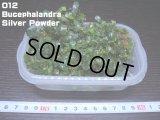 012 Bucephalandra Silver Powder