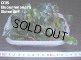 015 Bucephalandra Splendor