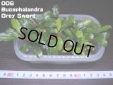 006 Bucephalandra Grey Sword