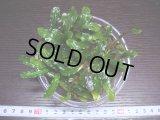 049 Bucephalandra GREEN VELVET SINTANG